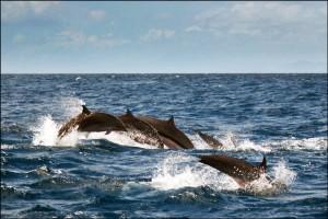 Стадо делфини