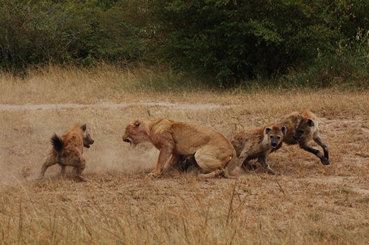 http://www.zaprirodata.com/mywp/wp-content/uploads/2013/03/hyenas-lion-e1364050648969.jpg