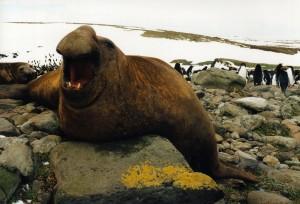 Морски слон със зинала уста